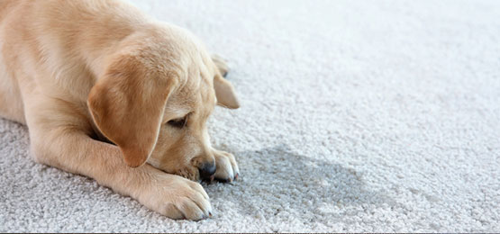 Carpet Pet Stain Removal Coalville
